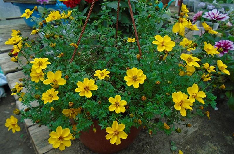 растение с длительным периодом цветения