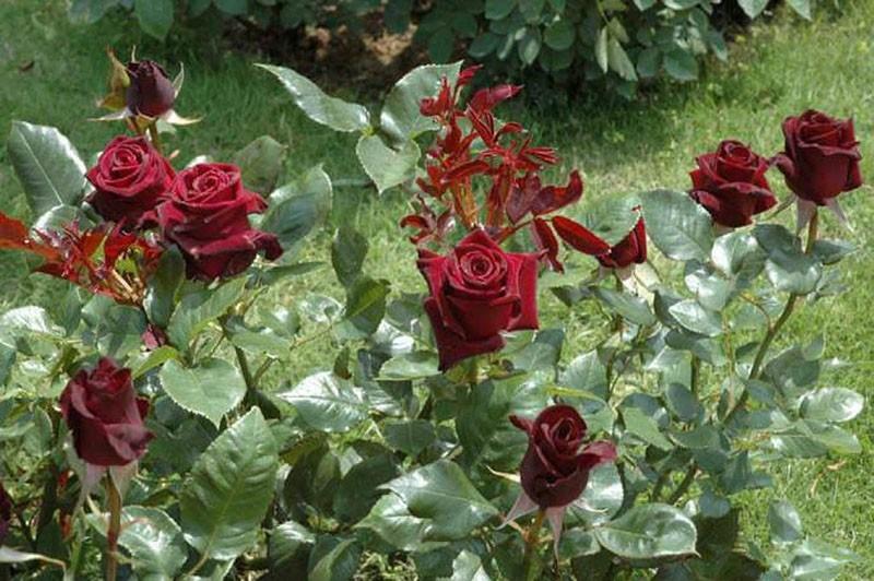 пышный куст розы Блэк Баккара