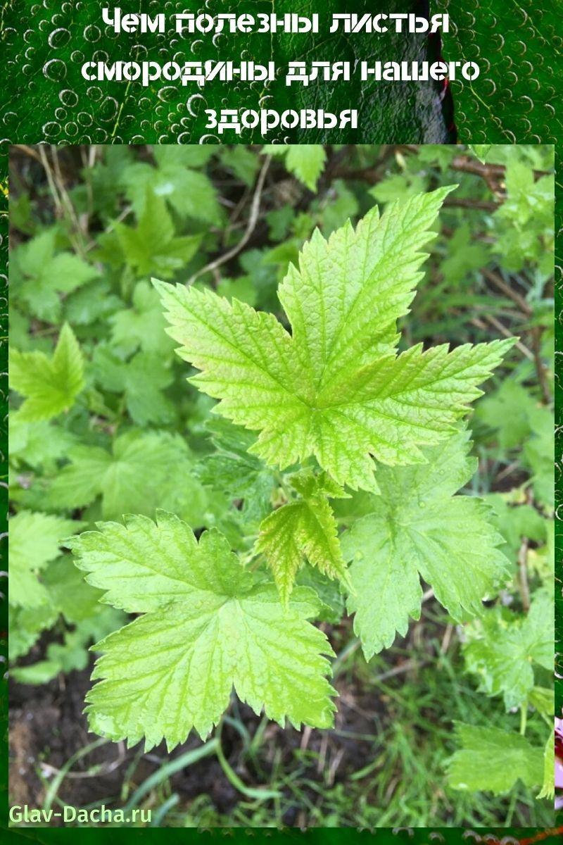чем полезны листья смородины