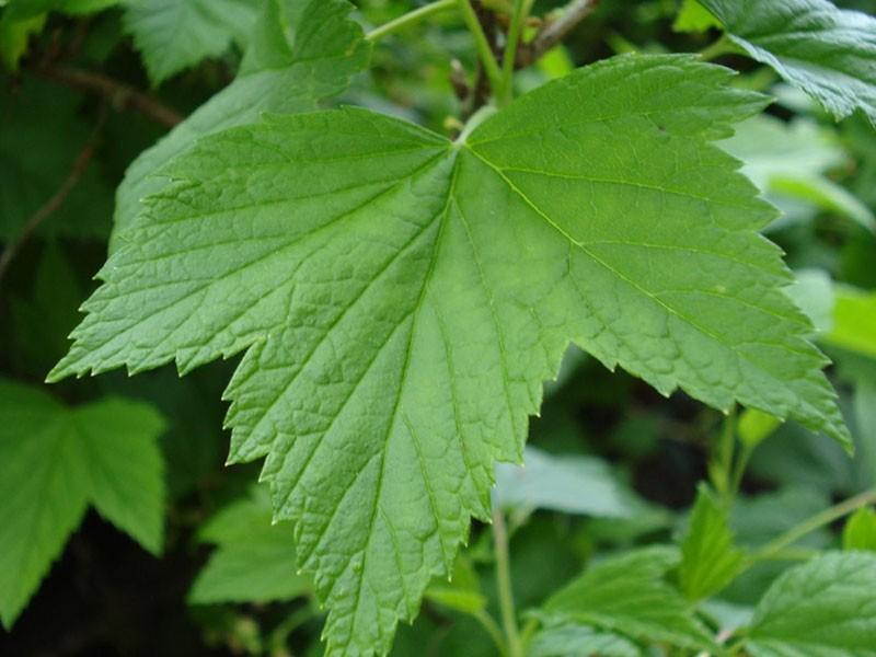листья полезны для здоровья