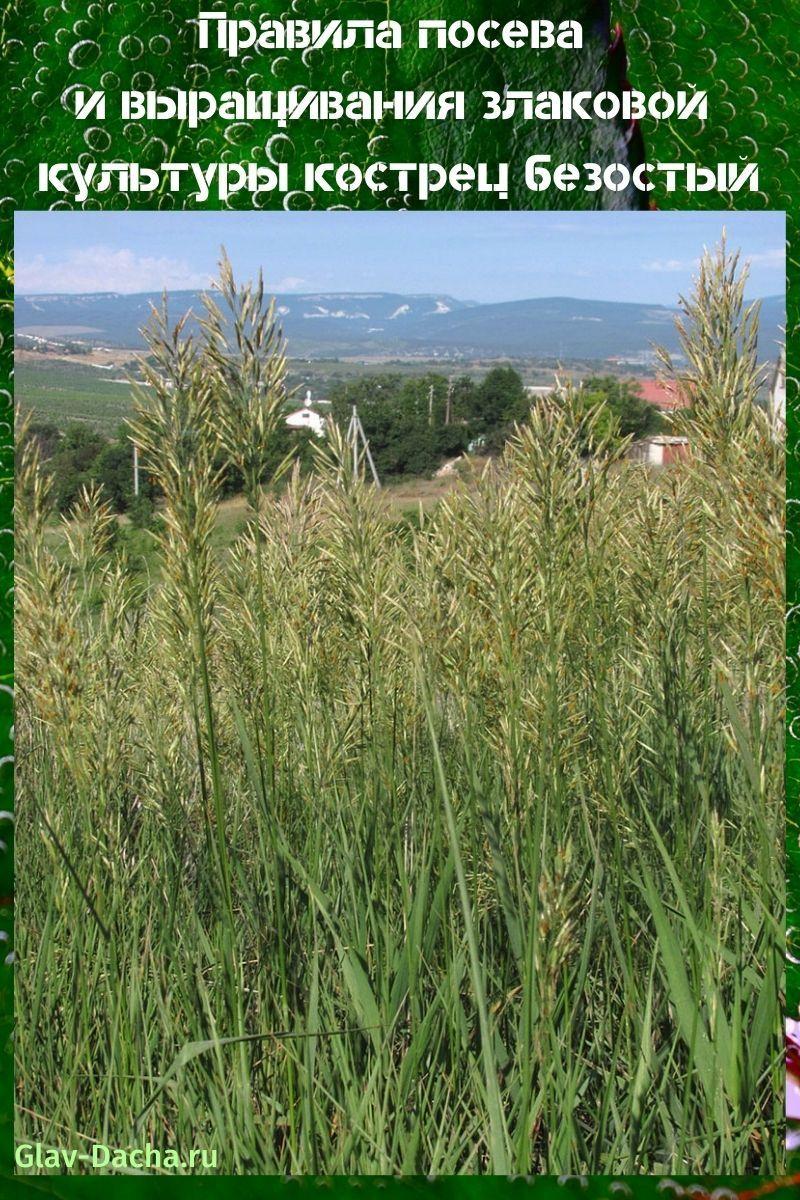 злаковая трава кострец безостый