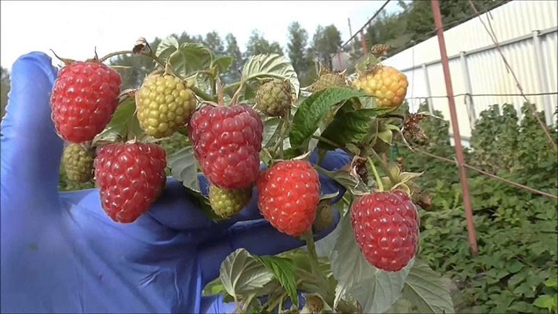 высокоурожайный сорт малины