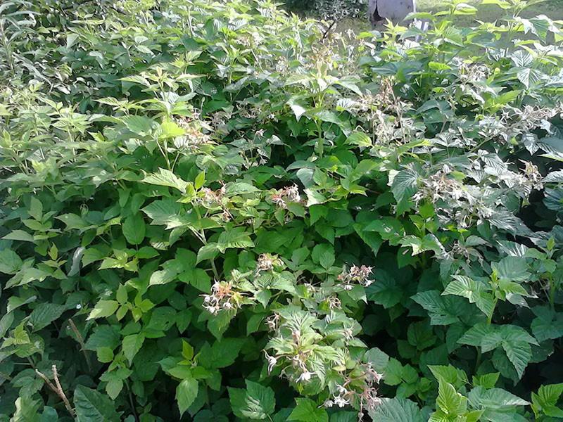 выращивание малины Патриция