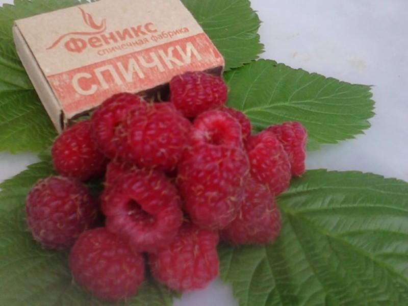 ягоды малины скромница