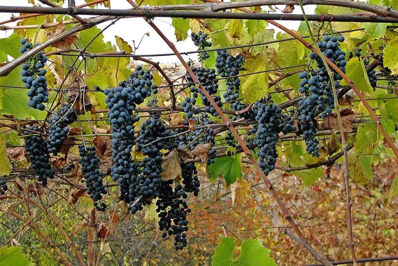 сорт винограда Оазис