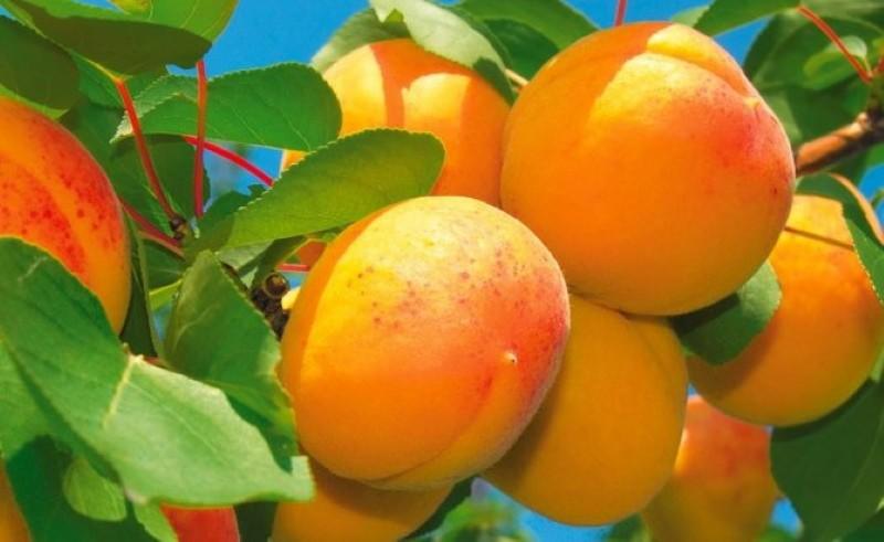 сорт абрикоса персиковый