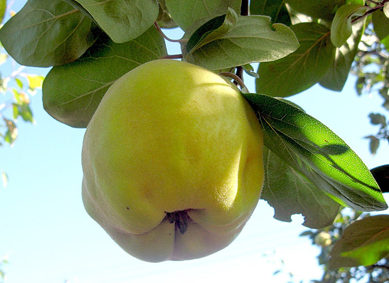 плод похож на яблоко