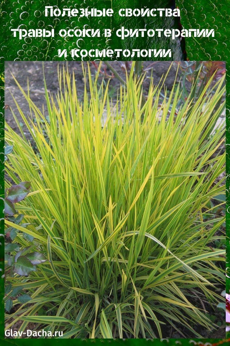 полезные свойства травы осоки