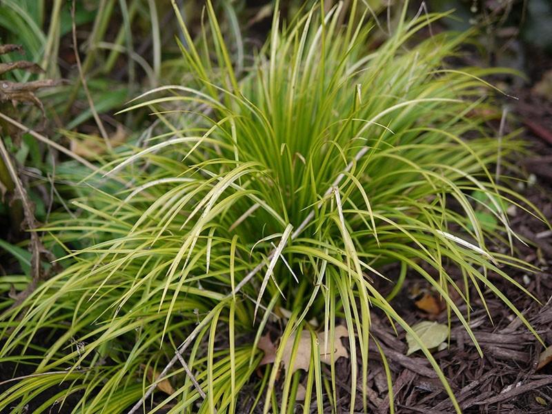 многолетнее травяное растение