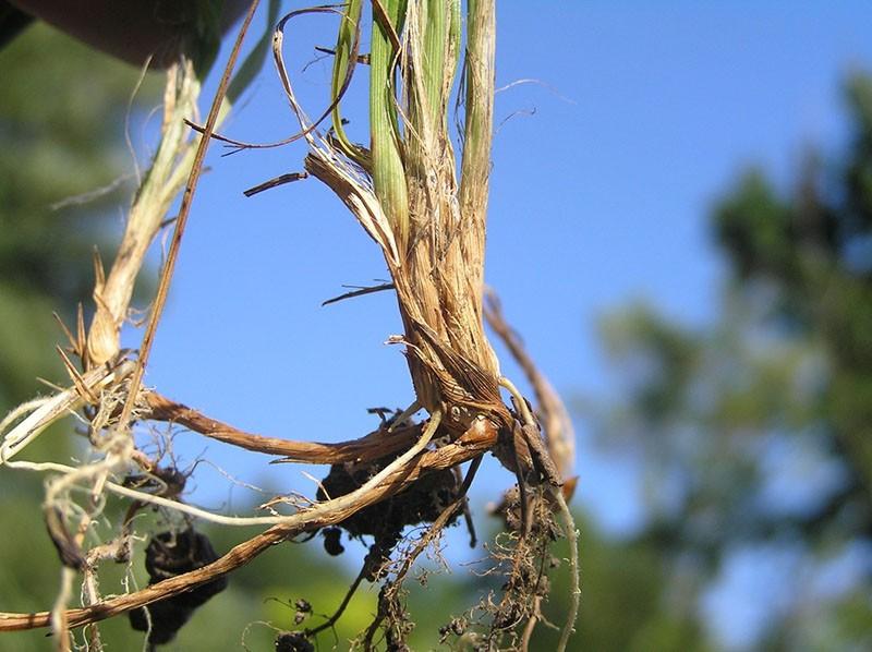 уникальный состав корневищ осоки