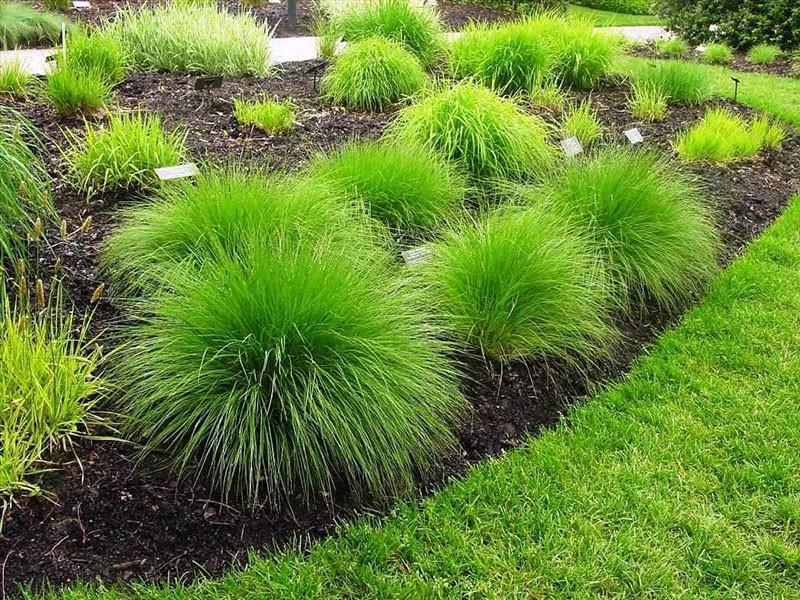 многолетнее травянистое растение