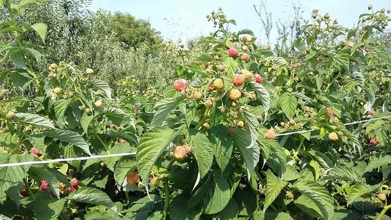 высокорослые кусты малины Бабье лето