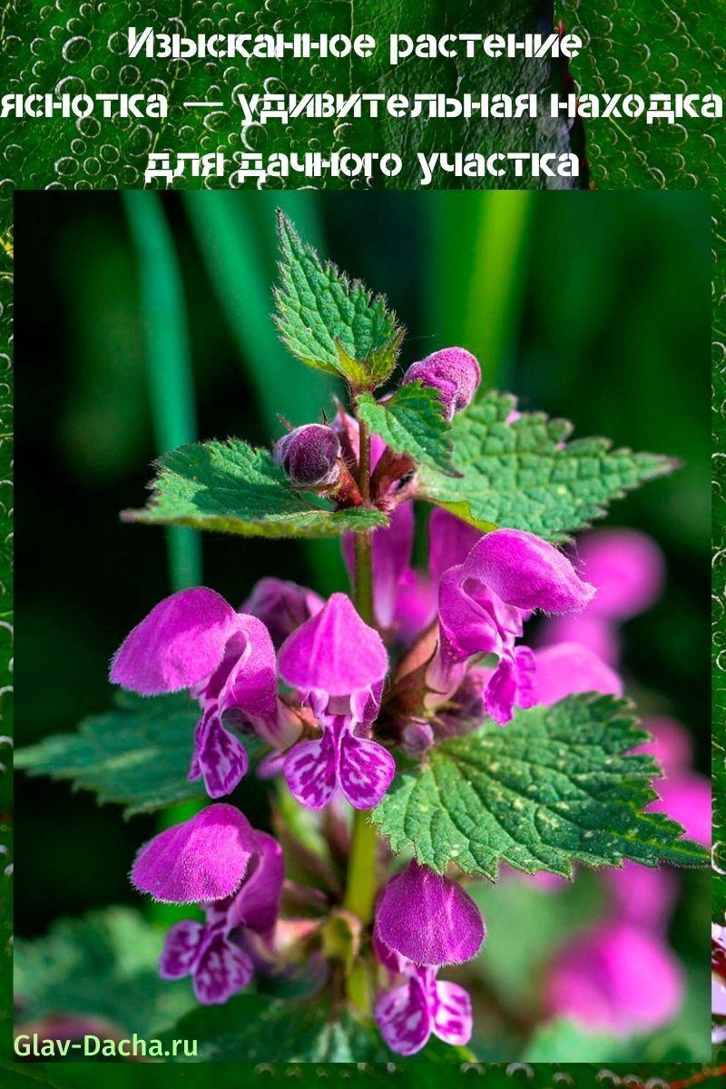 растение яснотка