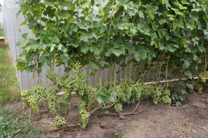 куст винограда ромео