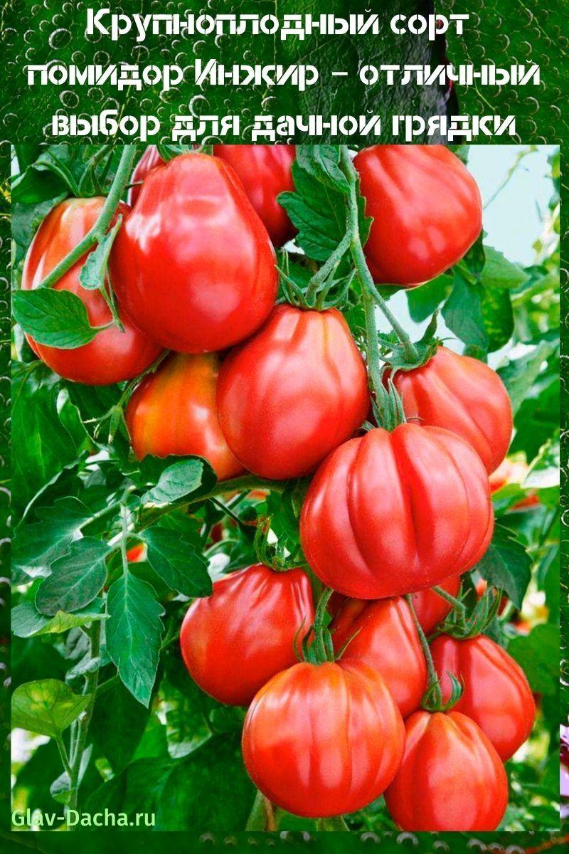 сорт помидор инжир