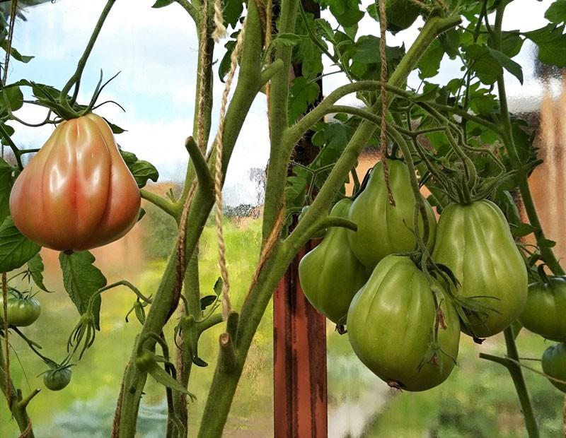 высокорослые кусты помидор