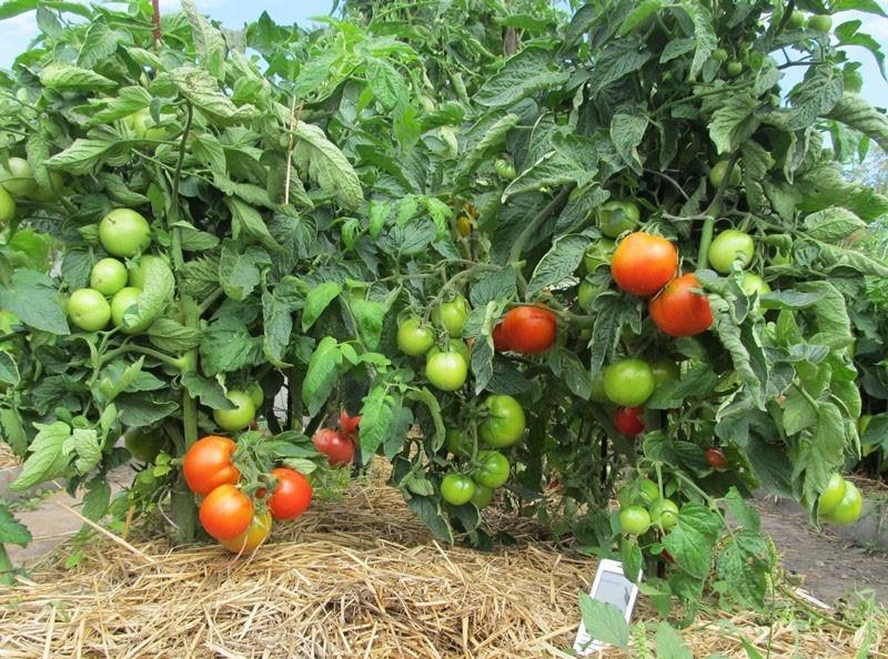 сорт томатов Лабрадор в открытом грунте