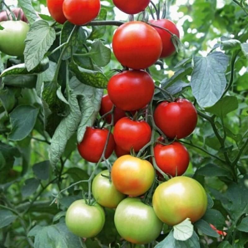 томат афродита