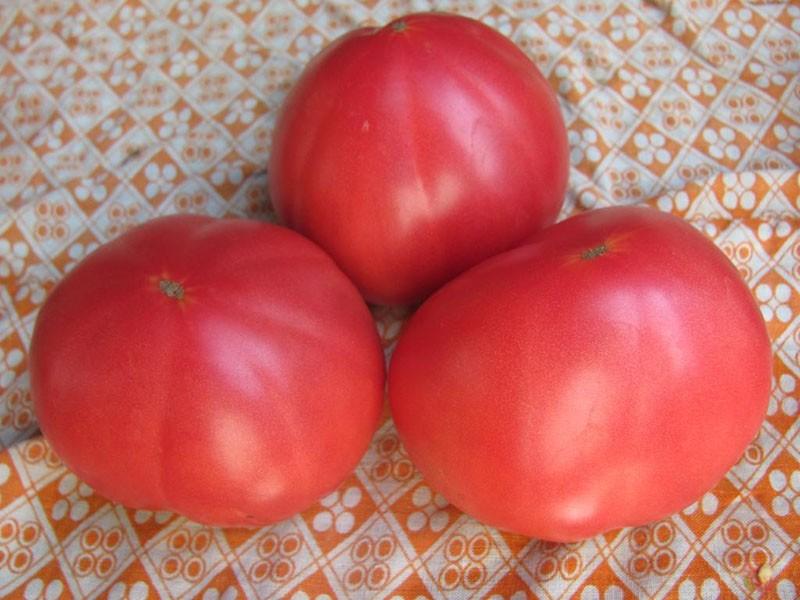 сорт томатов сибирской селекции