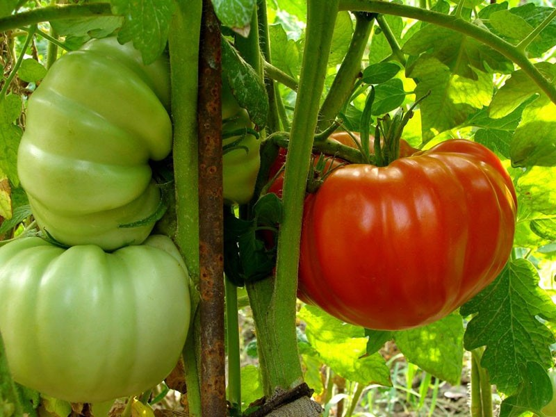 крупноплодный сорт томатов
