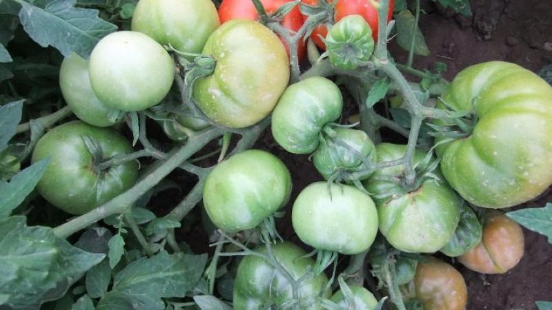 кусты томата колхозый