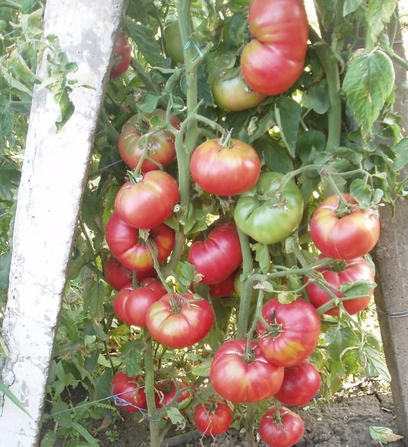 куст корнеевского томата