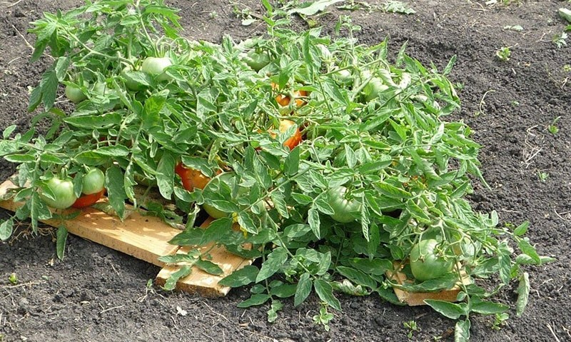 выращивание томата Монгольский карлик
