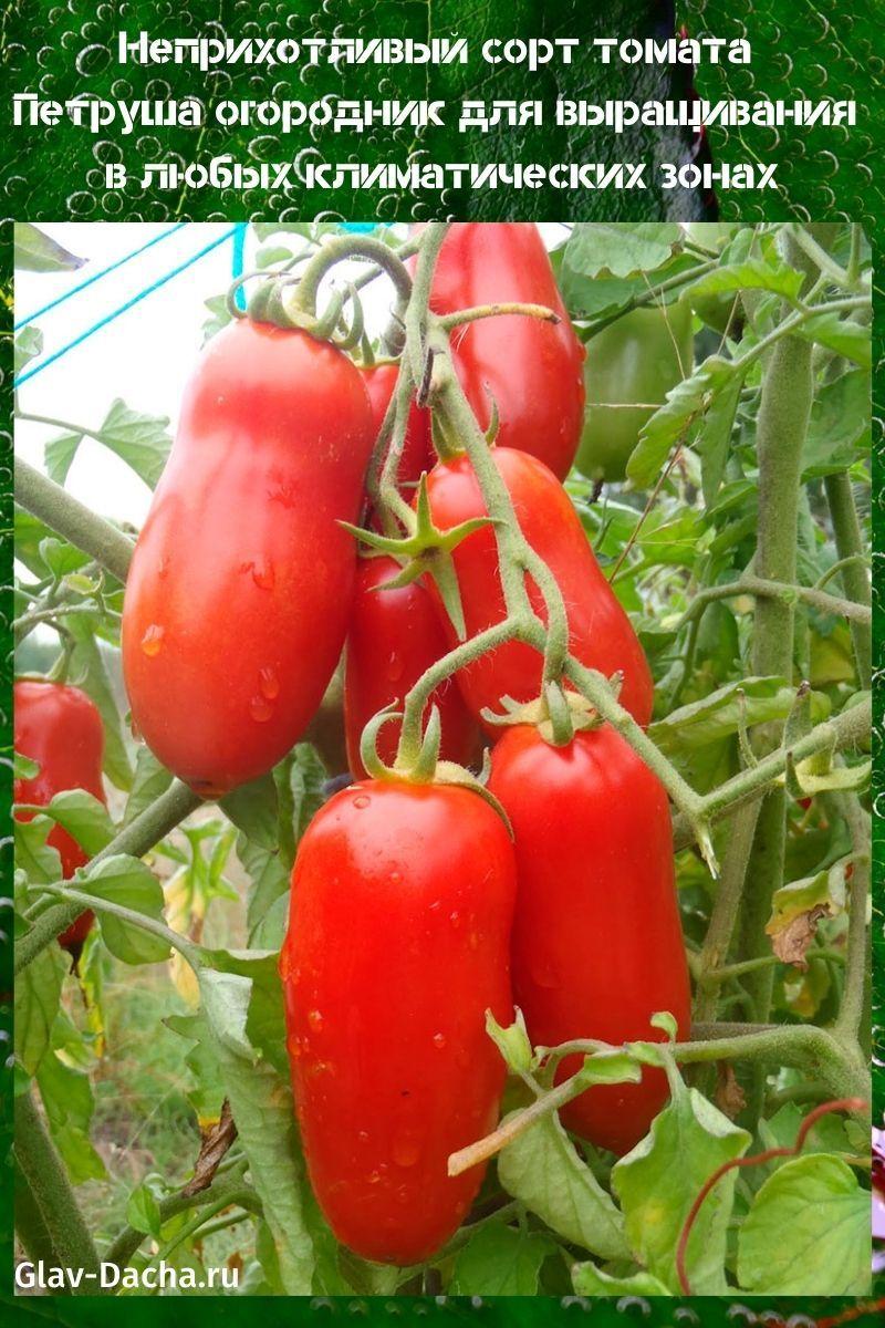 томат Петруша огородник