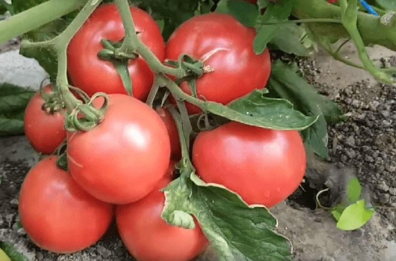 созрел томат пинк буш