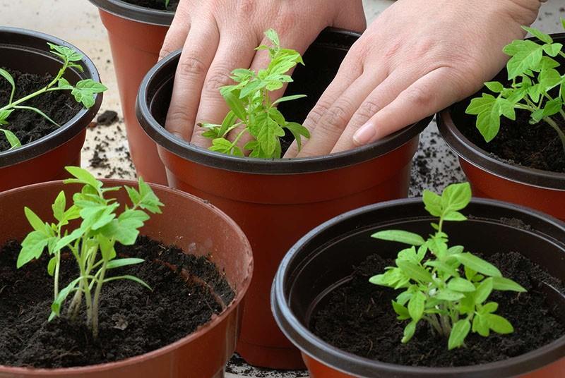 выращивание томата через рассаду