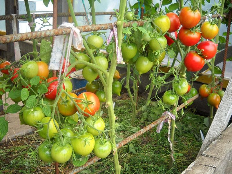 высокорослый сорт томата Юбилейный Тарасенко