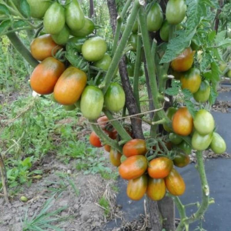 куст томатов черный мавр