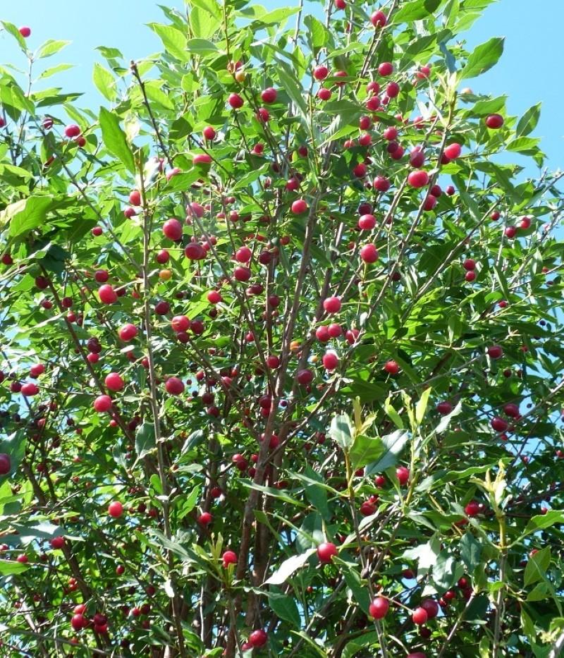 дерево вишни ашинской