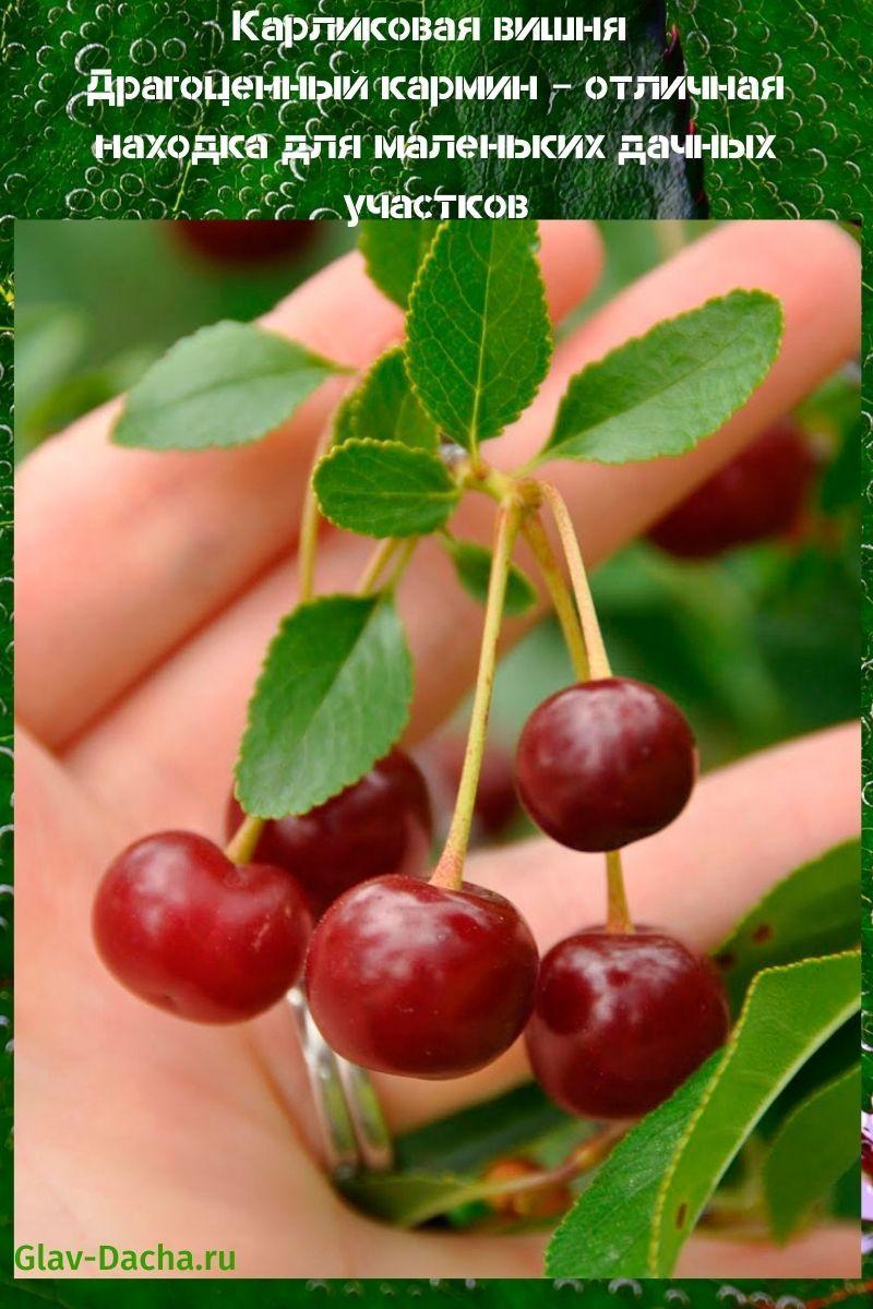карликовая вишня драгоценный кармин