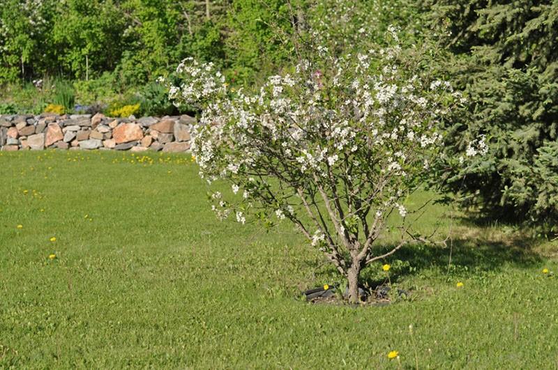 цветет карликовая вишня Драгоценный кармин