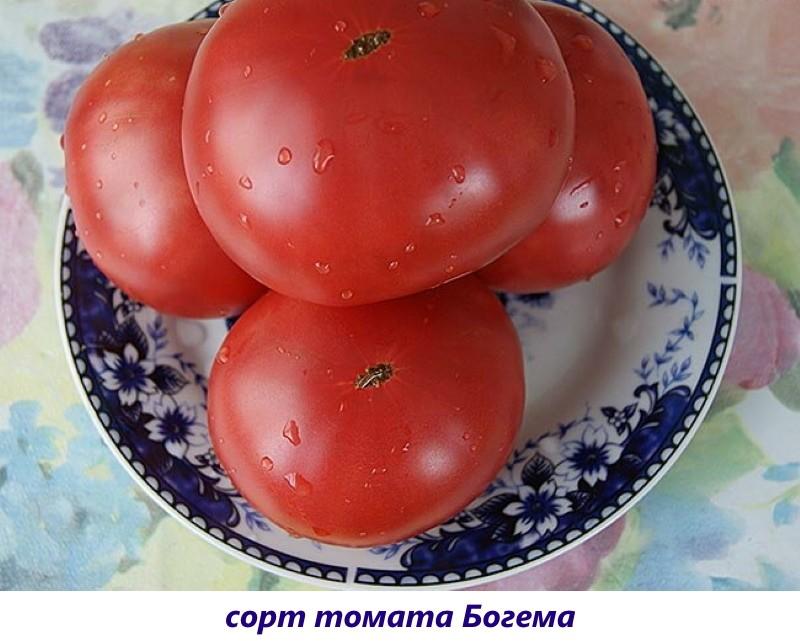томат богема