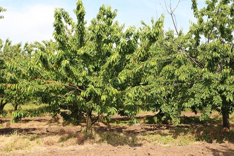 среднерослое дерево черешни