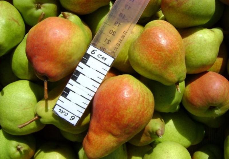 плоды груши вековая