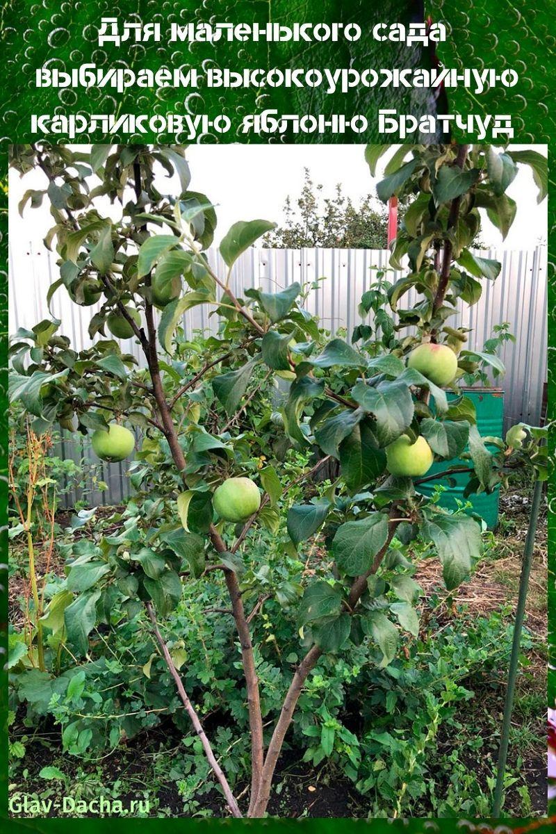 карликовая яблоня Братчуд