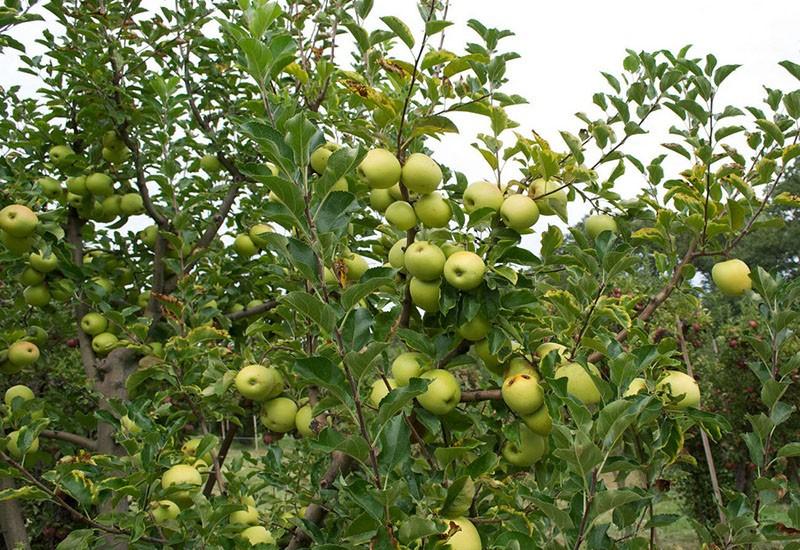 высокоурожайный сорт яблони Братчуд