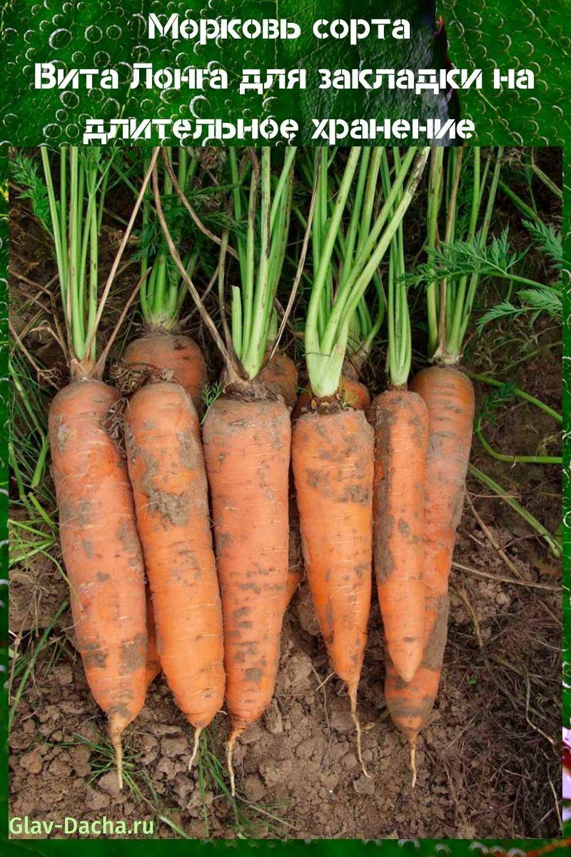 морковь сорта Вита Лонга