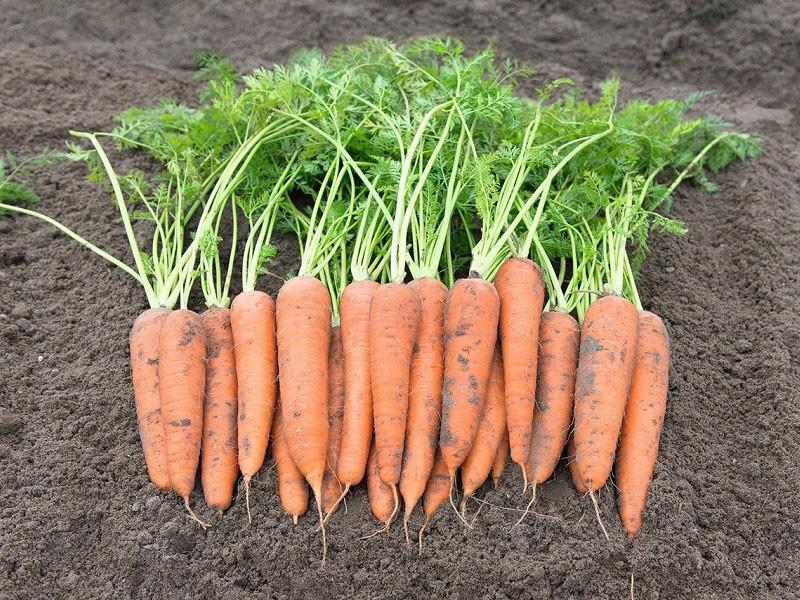 позднеспелый сорт моркови