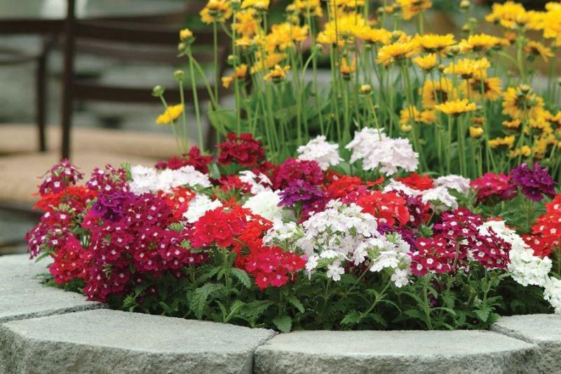 низкорослые цветы однолетники