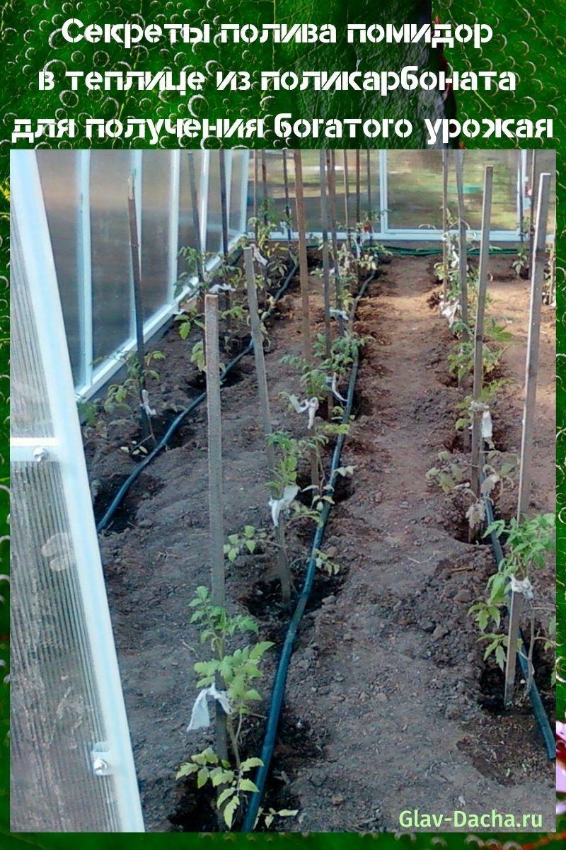 полив помидор в теплице из поликарбоната
