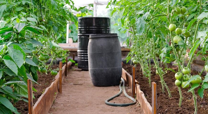 полив томатов водой из бочки