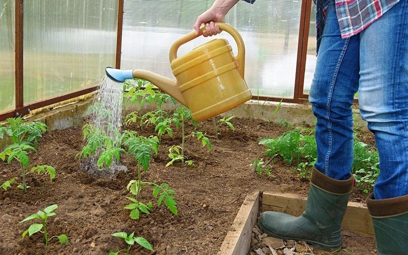 полив томатов после пересадки