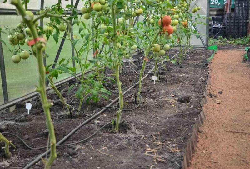 капельный полив помидор в теплице