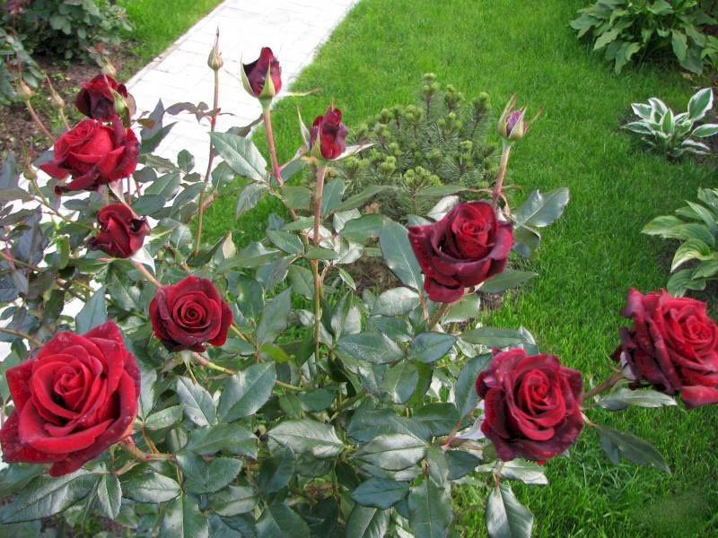 особенности сорта розы Блэк Мэджик