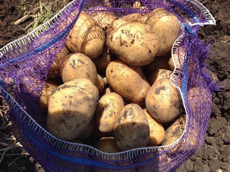 высокий урожай картофеля Импала