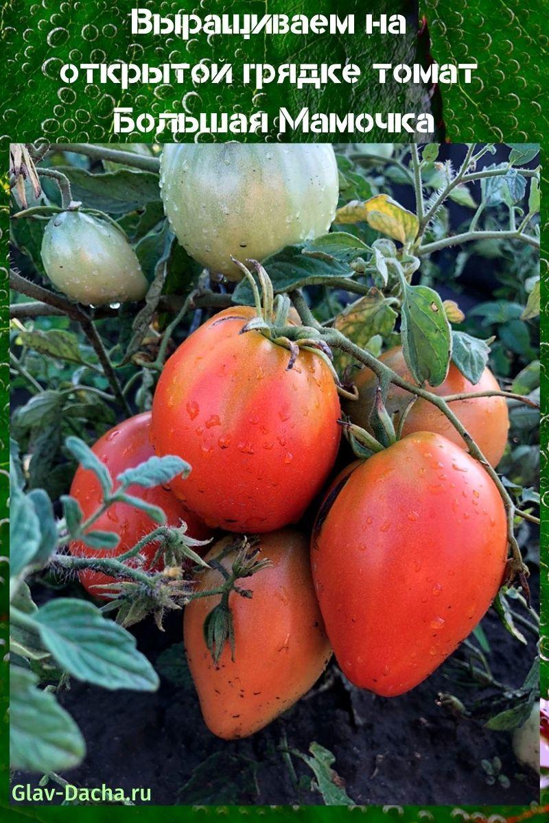 томат Большая Мамочка
